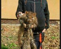 HOAX: V bratislavskom pentagóne vraj lovia obrie potkany